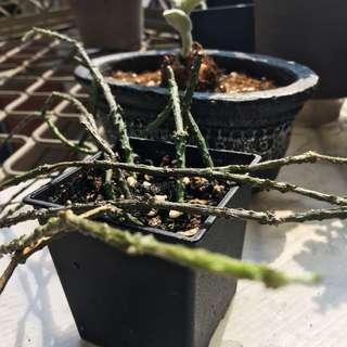 - 蘿藦科的多肉植物 - 燭台白前 Cynanchum marnierianum