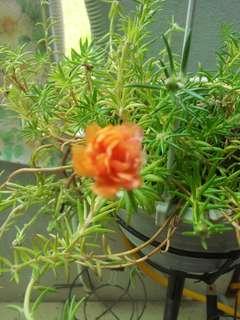7 species Japanese Moss Rose