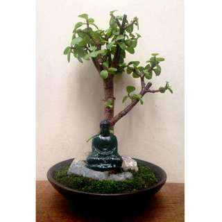 Zen  Bonsai  -  Nirvana  Series  1023