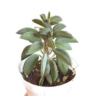 Peperomia Wolfgang-krahnii Succulent Rare (Limited)