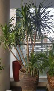 Yucca and Areca palm trees