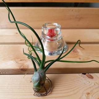 """Limited Offer: T. Bulbosa """"red form""""/ table deco/ air plant/ curly/ red"""