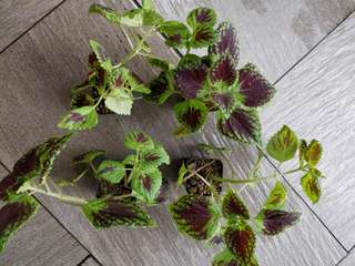 Coleus red and green (1st batch)