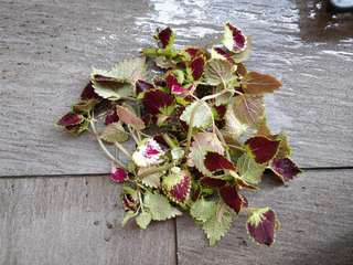 Coleus cuttings (loose)