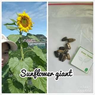 Giant Russian Mammoth Sunflower 10Seeds