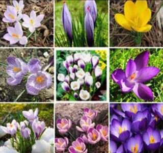 Saffron Crocus Mix Colour Flower Seeds