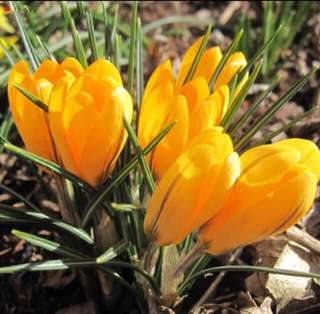 Yellow Saffron Crocus Flower Seeds