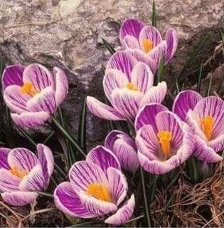 Striped Pink Saffron Crocus Flower Seeds