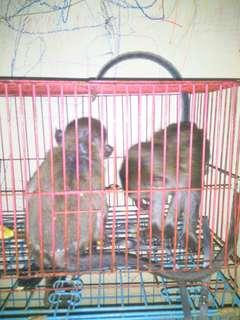 monkey betina dan jantan
