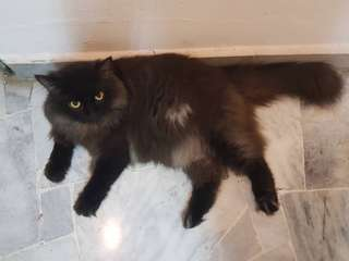 Black persian mancoon