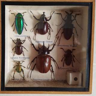 Insect specimen and display Rare item 15x15cm