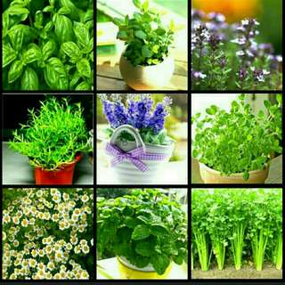 GARDENING - Herb Seeds For Sale