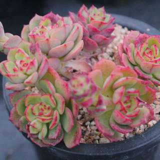 😍RARE SUCCULENTS: S060 - Agnes Rose (FIRST COME FIRST SERVE! VERY LIMITED STOCKS!)😱