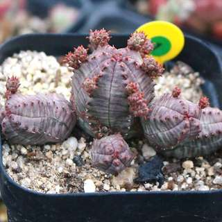 😍RARE SUCCULENTS: R021 - Obesa Monster Rose (FIRST COME FIRST SERVE! VERY LIMITED STOCKS!)😱