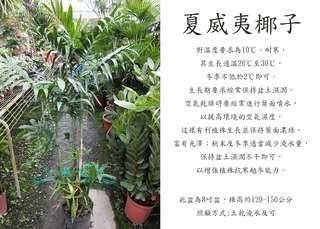 心栽花坊-夏威夷椰子/8吋盆/綠化植物/室內植物/觀葉植物/售價600特價500