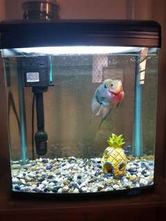 Aquarium Jebo R338 with Flowerhorn and Accessories