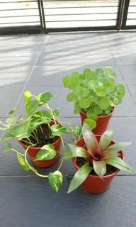 Promotion Pennywort, Money Plant, Oyster