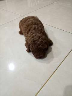 Supper Red Toy Poodle RTP