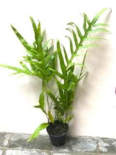 Oak Leaf Fern, Daun Kepala Tupai, Sakat Laipang 栎叶槲蕨 (Drynaria quercifolia)
