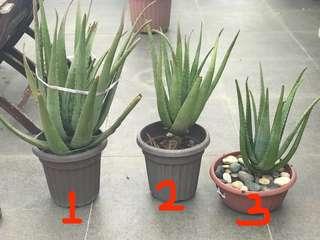 Aloe Vera Plant ( various sizes)