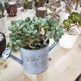 Succulents Pot
