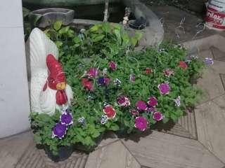 Bunga petunia / bunga gantung
