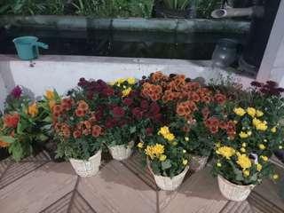 Bunga krisan / chrysant dekorasi