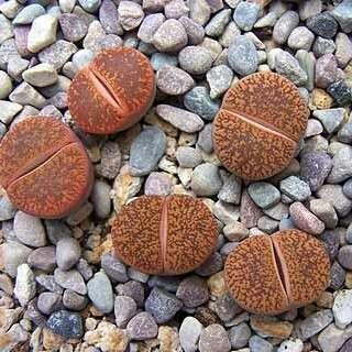 Seeds: Lithops lesliei hornii
