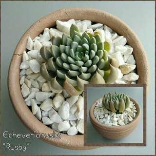 Echeveria Rusby (semi-rare succulent)