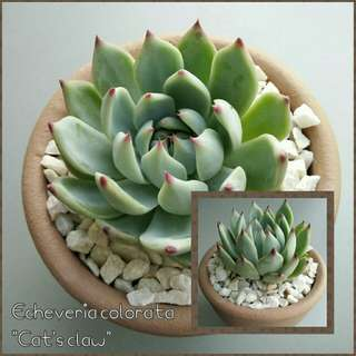 Echeveria colorata (semi-rare succulent)