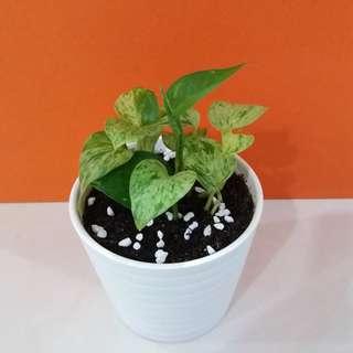 Money plants- 2 type