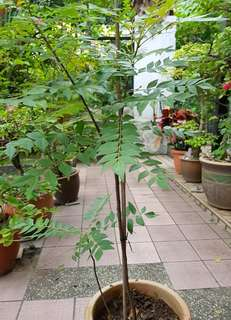 Plant - 2 Curry Leaf Trees