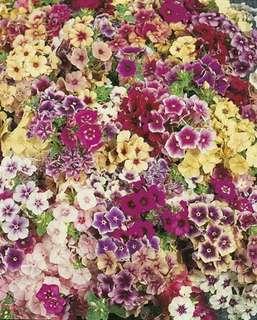Gardening ♡ Mixed Colour Phlox Seeda X 25