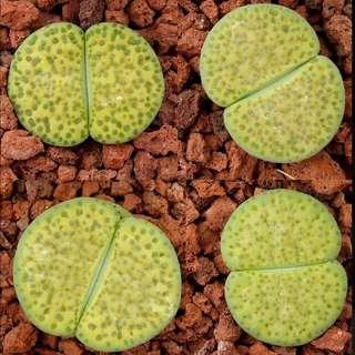 Seeds: Light Green Lithops