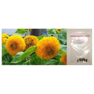 Sunflower - Dwarf Sungold / Wild Annual
