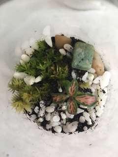Cute Terrarium Moss Fittonia
