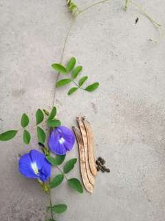 Butterfly pea flower seed