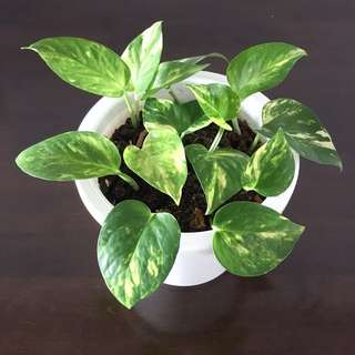 🌿 Potted Golden Pothos / Money Plant   Great Air Purifying Houseplant!! 🌿
