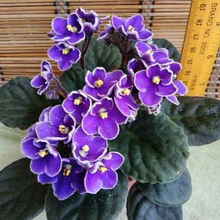 Mother's Day Flowers Gifting Violet 紫罗兰