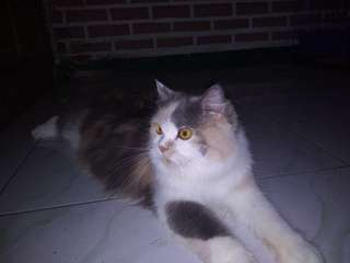 Kucing Persian medium 3 warna