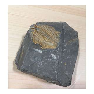 🚚 三葉蟲 化石 7 * 8