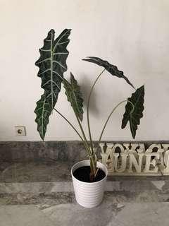 Tanaman 5 daun termasuk pot tembikar putih ikea