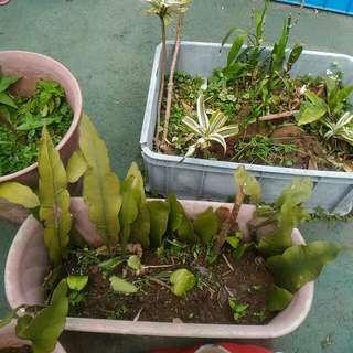 大橢圓長盆植物