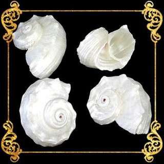 Seashell - Angaria Pearlized - Imperial Delphinula or Common Delphinula - Angaria Delpinus