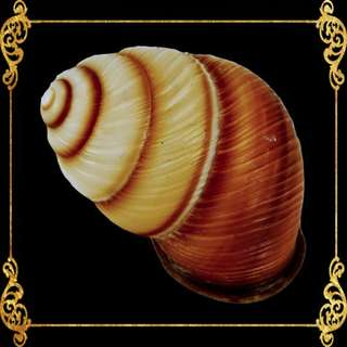 Seashell - Brown Land Snail - Sowerby - Camaena Arata