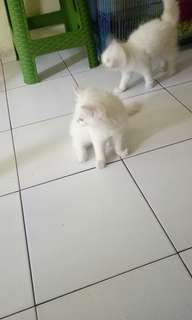 Kucing persia kitten