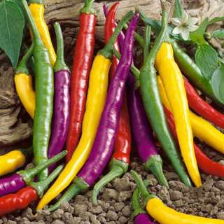 Hot Pepper 'Caynne Blend' ( 10 seeds)