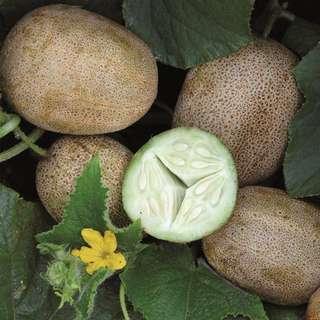 🚚 Cucucmber 'Little Potato' (20 seeds)