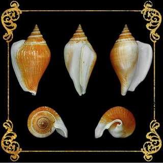 Seashell - Canarium Brown - Dog Conch - Strombus Canarium or Laevistrombus Canarium