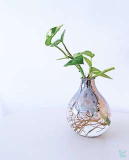 Water: Pot of Dew with Money Plant or Pennywort